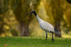 Australian White Ibis (Luke6876) Tags: bird animal wildlife ibis australianwildlife australianwhiteibis