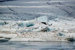 shs_n8_044679 (Stefnisson) Tags: bird ice berg birds landscape iceland glacier iceberg gletscher fugl glaciar sland icebergs jokulsarlon breen jkulsrln ghiacciaio jaki vatnajkull jkull jakar s gletsjer fuglar ln  glacir sjaki sjakar stefnisson
