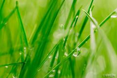 DSC_8768.jpg (docjfw) Tags: macro grass ct dew droplet rockyhill