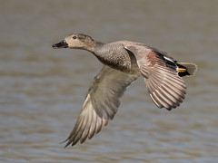Gadwall - Anas strepera (normanwest4tography) Tags: male nature water flying duck flight drake waterfowl avian wildfowl gadwall wildbird aquaticbird inlight sigma500f45 llanelliwwt canon7d2