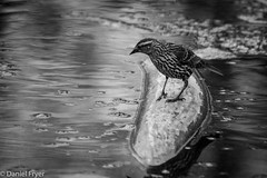 In Search of... (danfryer2) Tags: blackandwhite bird spring elizabeth sidney lizzy naturewalk 22months ojibwaypark nikond7200