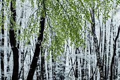Betula (matthiasstiefel) Tags: schnee snow ice leaves surreal frstenfeldbruck birch grn eis kontrast birke eichenau birken supertakumar50mmf14