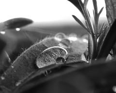 Drops 2 (heiko.moser) Tags: bw macro blancoynegro nature water canon mono drops wasser noiretblanc outdoor natur natura nb 100mm sw monochrom makro schwarzweiss nero regen nahaufnahme tropfen discover einfarbig schwarzweis blackwihte entdecken heikomoser