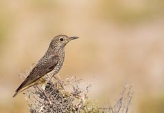 Rufous-tailed Rock Thrush female (simons snapshots) Tags: nature rufoustailedrockthrush migratorybirds