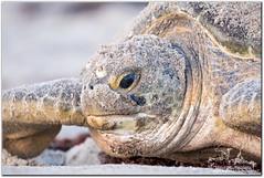 Wisdom (mlibbe) Tags: beach nature sand florida turtle reptile wildlife seaturtle atlanticocean cheloniamydas greenseaturtle brevardcounty wwwmichaellibbephotographycom
