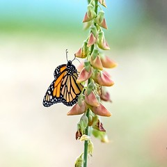 Backyard Birding Break (Kamal50) Tags: wild nature beautiful butterfly backyard background monarch