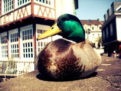 That`s my Boy (Nina) Tags: duck ente