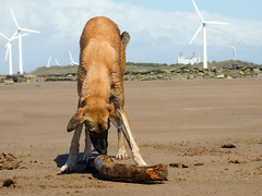 P1000542 (jamiebecky17) Tags: sea dogs sand shore cumbria actionshot saluki workington lurchers solwayfirth
