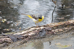 untitled (robwiddowson) Tags: bird nature water birds animal animals river photography photo image picture photograph yellowwagtail willdlife robertwiddowson