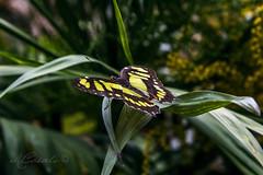_MG_1154 (mariachiara.casali) Tags: nature beauty butterfly centro arc di campo variety morpho albero animale farfalla insetto padova pianta terme farfalle allaperto profondit abano montegrotto