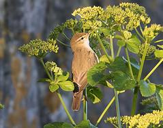 Willow Warbler (Phylloscopus trochilus) (drbut) Tags: bird portland dorset songbird willowwarbler phylloscopustrochilus sylviidae warblersandallies