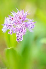 The best I could do (Tschissl) Tags: flowers austria sterreich orchids pflanzen blumen location april niedersterreich stacked orchideen neotinea