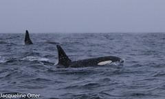 orcas (jacqy85) Tags: norway wildlife dolphins whales orca andenes noorwegen cetacean orka spekhoggere killerhwlaes