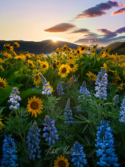 Rowena Sunrise (rootswalker) Tags: color clouds oregon sunrise spring wildflowers pnw columbiagorge balsamroot lupines rowenacrest nikond800 distagont2815 carlzeiss15mm