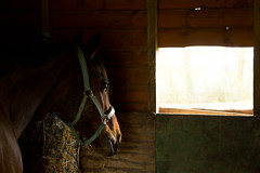 Bert (CWT-Photography) Tags: life light horse brown love window barn happy photography nikon farm bert hobby resting steed stable stallion thoroughbred racinghorse schooling