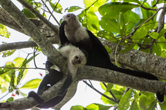 Capuchin Monkeys (TylerIngram) Tags: travel monkey costarica primate cahuita cebidae
