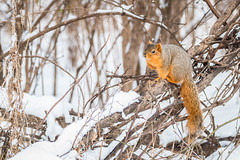 Winter Squirel (Vern4UI) Tags: statepark winter snow nature birds animal animals unitedstates wildlife birding iowa squirel desmoines walnutwoods