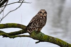 Short-eared Owl (Asio flammeus) (andrewmckie) Tags: bird animal scotland outdoor wildlife owl musselburgh shortearedowl asioflammeus explored