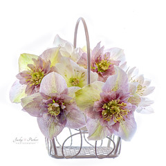 Spring Basket (Jacky Parker Floral Art) Tags: pink flowers stilllife macro closeup basket nopeople whitebackground hellebore highkey christmasrose freshness helleborus naturephotography lentenrose macrophotography floralart fragility beautyinnature flowerphotography squareorientation creativeedit mygardenschool spring2016