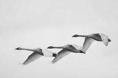 White wings (Adam Wang) Tags: sky blackandwhite bird flying swan wings