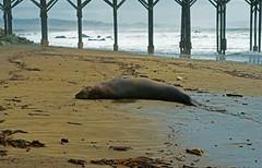 FBDSC00644 (sdr93723) Tags: elephant beach nature pier seal cambria elephantseal