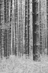 In the Pines (reclaimednj) Tags: winter blackandwhite white snow monochrome forest woods nj minus whitepine 2016 bassriverstateforest burlingtoncounty bassrivertownship forestedhabitat