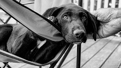 Say no to these eyes, I dare you (Robert Streithorst) Tags: puppy lab simplysuperb robertstreithorst