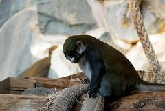 Cercopithque ascagne  nez blanc (cedric.harbulot) Tags: france animal zoo monkey nikon  sigma animaux nez blanc espace singe zoologique sauvage zoological cercopithque saintmartinlaplaine 18250mm d5300 ascagne