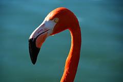 Pink floyd_1037 (ichauvel) Tags: voyage travel pink portrait bird up rose yellow proud jaune neck outside rouge eyes nikon europe close outdoor flamingo beak ile malta drop yeux bec floyd res oiseau cou goutte malte plumage fier flamand exterieur