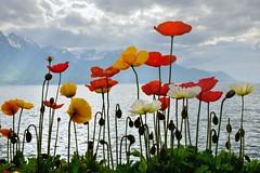Spring Lake Geneva. Montreux. (mariya_ka) Tags: flowers lake nature switzerland spring nikon geneva poppy montreux d600