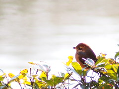モズ (Polotaro) Tags: bird nature pen olympus 自然 zuiko 鳥 12月 ペン 野鳥 オリンパス モズ ズイコー fzuiko300mmf45 epm2
