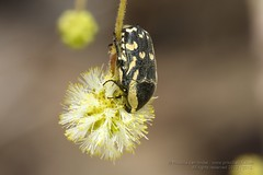 319A8782 Flower Chafer-Scarab Beetle, Cetonidae, Stalagmosoma cynankii, UAE (Priscilla van Andel - Travelling) Tags: uae scarabbeetle flowerchafer cetonidae stalagmosomacynankii