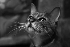 Mango the Bengal Cat (steven.kemp) Tags: pet monochrome animal cat mango bengal