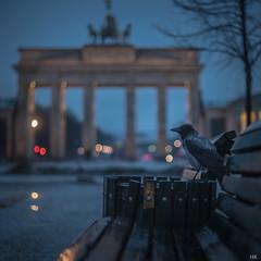 The Early Bird (*altglas*) Tags: city morning berlin bird dawn lights early stadt crow dämmerung rook brandenburgertor morgen müllmann vogel lichter krähe garbageman earlybird frühaufsteher saatkrähe selectiveconceptualdof sonya7s zuiko2070mm