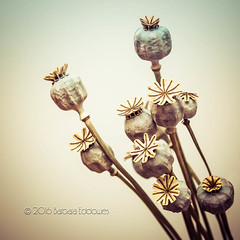 #2 Heads (belincs) Tags: uk stilllife flash indoor lincolnshire seedhead poppy february 2016 naturethroughthelens 116picturesin2016
