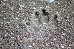 Footprint on the Sand (gianluca_malfitano) Tags: italy color animal canon blackwhite flickr photos hobby sicily augusta 1855 spiaggia siracusa facebook magia 70300 gianluca passaggio fotografando orma malfitano gianlucamalfitano