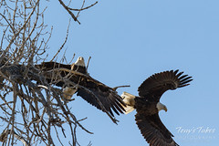 Bald Eagles copulating sequence - 23 of 28