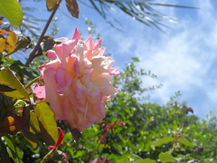 37/366 A rose in the garden (JessicaBelotto) Tags: roses flower planta luz sol wonderful garden amazing day foto ar flor rosa atmosphere dia céu days lindo honey jardim ao fotografia projeto livre nuven clima fotográfico fotografando maravilha 366 incrível 366daysofhoney 366diasnoano