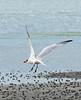 Caspian Tern  Hydroprogne caspia, (Maureen Pierre) Tags: flying bill feeding young juvenile stout caspiantern bloodred blacktipped hydroprognecaspia