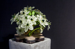 Ornithogalum / Milchstern (Rainer Fritz) Tags: flower natur blte ornithogalum milchstern