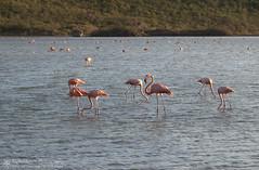 Salia Sint Michiel (right2roam) Tags: pink wild bird saint island michael wildlife flamingo curacao tropical caribbean netherlandsantilles saltflat saltpan dutchcaribbean right2roam saliasintmichiel