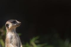 2014-07-12_Zoo_Dortmund_0010 (julian_bocholt) Tags: zoo tiere dortmund erdmnnchen