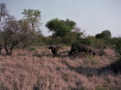 Friends join (chillbay) Tags: africa southafrica buffalo krugernationalpark kruger tandatula krugerafrica