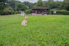 IMG_3083 (yukichinoko) Tags: dog dachshund 犬 kinako ダックスフント ダックスフンド きなこ