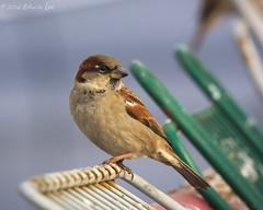 MH_048 ( Ed Lee) Tags: morning winter shadow cute bird nikon 7100 bokeh feather finch sparrow shade tele shelter teleconverter avian 200500 14x 56e