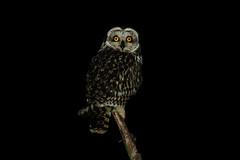 _MG_9654.jpg (AMPMartins) Tags: aves animais corujadonabal