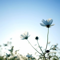 Spring White Cosmos ( aikawake) Tags: flowers light white love nature beautiful backlight wonderful landscape countryside spring good awesome atmosphere best clear soul bloom shinny ricohgr cosmos magichour  glossary clearair