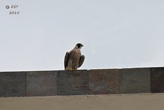 Peregrine on the Roof (zeesstof) Tags: vacation birds geotagged mexico resort bajacalifornia cropped baja sanjosdelcabo peregrinefalcon falcoperegrinus zeesstof