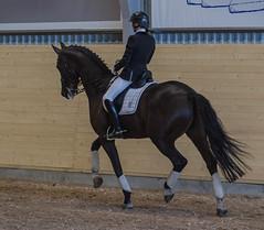 Dressage riding (frankmh) Tags: horse skne sweden indoor rider helsingborg dressage hittarp