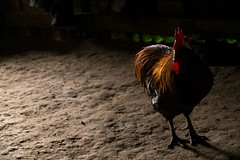 Chicken in the house. (Laura Jacobsen) Tags: laos hilltribe akha phongsaly phongsali akhanoukouy
